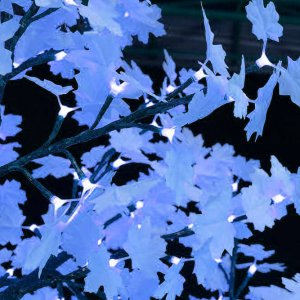 blue-maple